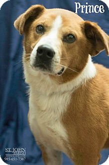 Border Collie/Collie Mix Dog for adoption in Laplace, Louisiana - Prince