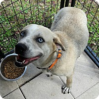 Labrador Retriever/Husky Mix Dog for adoption in Osteen, Florida - Fayrene