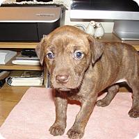 Adopt A Pet :: Lyra - Bowie, MD