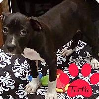 Adopt A Pet :: Tootie - Des Moines, IA
