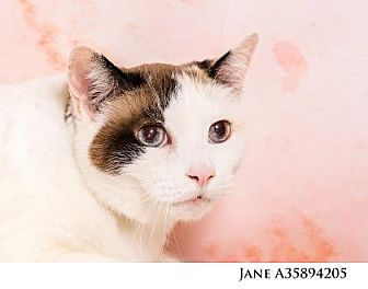 Domestic Shorthair Cat for adoption in Reno, Nevada - JANE