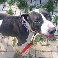 Adopt A Pet :: Stella-URGENT - Oak Ridge, NJ
