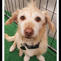 Adopt A Pet :: SHORTY - Winchester, CA