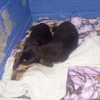Adopt A Pet :: Vegas - Greenville, KY
