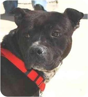 Pit Bull Terrier Mix Dog for adoption in Fulton, Missouri - URGENT!-Mack