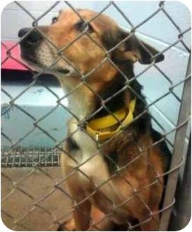 German Shepherd Dog Mix Dog for adoption in Troy, Michigan - Misty