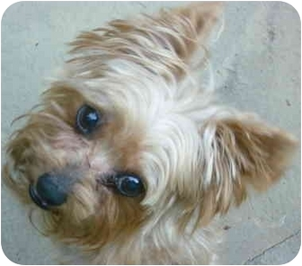 Yorkie, Yorkshire Terrier Dog for adoption in Greensboro, North Carolina - Eli