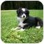 Photo 2 - Australian Shepherd Puppy for adoption in Savannah, Georgia - Gizmo