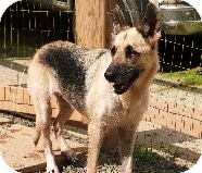 German Shepherd Dog Dog for adoption in Pineville, North Carolina - Hope