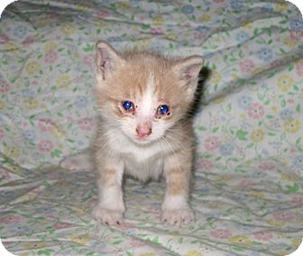 Domestic Shorthair Kitten for adoption in Brooklyn, New York - Coffee