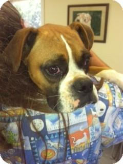 Boxer Mix Dog for adoption in Waldorf, Maryland - Rosco