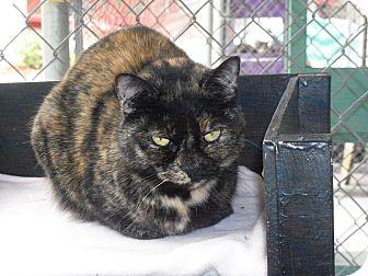 Domestic Shorthair Cat for adoption in El Cajon, California - Brenna