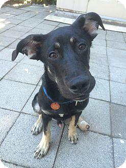 German Shepherd Dog/Doberman Pinscher Mix Puppy for adoption in Glendale, California - Mo