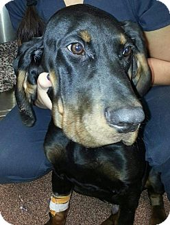 Black and Tan Coonhound Mix Puppy for adoption in Cedar Rapids, Iowa - Buddy