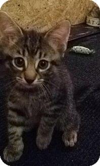 Domestic Shorthair Kitten for adoption in Gainesville, Florida - Jon Snow