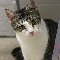 Domestic Shorthair Cat for adoption in Marietta, Ohio - Sweet Sioux (Spayed)