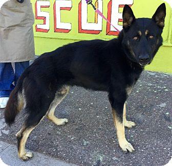 German Shepherd Dog/Akita Mix Dog for adoption in Phoenix, Arizona - Sargeant