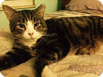 Domestic Shorthair Cat for adoption in Delmont, Pennsylvania - Carlos