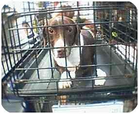Dachshund/Pit Bull Terrier Mix Dog for adoption in Provo, Utah - ZIPPER