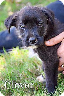 Border Collie Mix Puppy for adoption in DFW, Texas - Clover