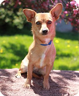 Chihuahua/Corgi Mix Dog for adoption in South Haven, Michigan - Jasper