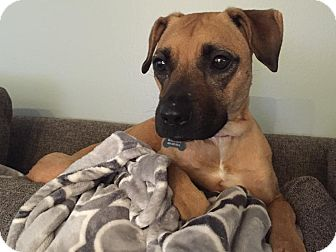 Boxer Mix Dog for adoption in Lima, Pennsylvania - Winnie