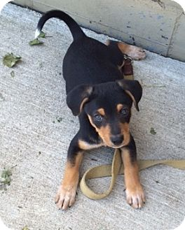 Blue Heeler Mix Puppy for adoption in East Sparta, Ohio - Marko