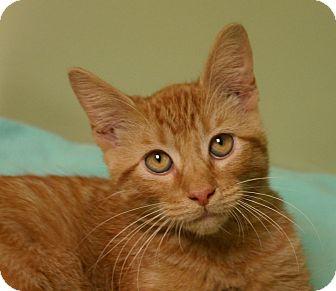 Domestic Shorthair Cat for adoption in Hastings, Nebraska - Shrek
