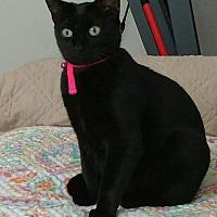 Adopt A Pet :: Silky Kitty - Miami, FL