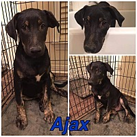 Adopt A Pet :: AJAX - knoxville, TN