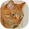 Oriental Cat for adoption in Iowa City, Iowa - Jordan