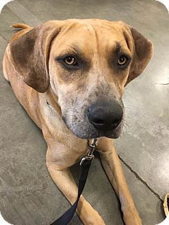Black Mouth Cur/Catahoula Leopard Dog Mix Dog for adoption in Sarasota, Florida - Milo