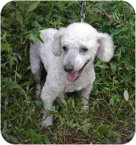 Poodle (Miniature) Dog for adoption in Naugatuck, Connecticut - Kenny