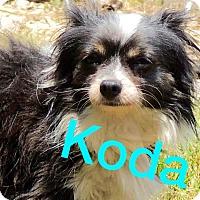 Adopt A Pet :: Koda - Joplin, MO