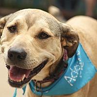 Adopt A Pet :: Cali Catahoula - Pacific Grove, CA