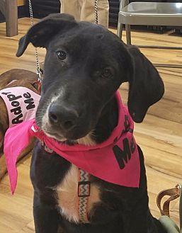 Labrador Retriever/Hound (Unknown Type) Mix Puppy for adoption in Little Rock, Arkansas - Melody