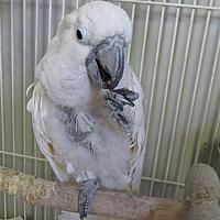 Cockatoo for adoption in Elizabeth, Colorado - Baby