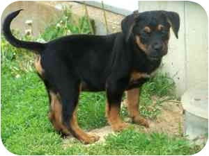 Doberman Pinscher/Beagle Mix Puppy for adoption in Cincinnati, Ohio - Cosmo