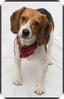 Beagle Dog for adoption in Westfield, New York - Zara