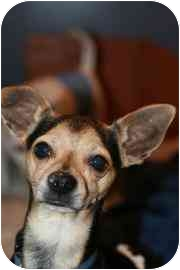 Chihuahua Mix Dog for adoption in tucson, Arizona - Elvis