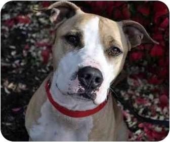 American Pit Bull Terrier Mix Dog for adoption in Trucksville, Pennsylvania - Milo*