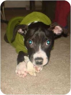 American Staffordshire Terrier/Staffordshire Bull Terrier Mix Puppy for adoption in Berea, Ohio - Kris-Courtesy Post