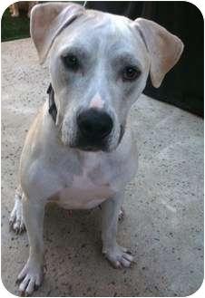 Pit Bull Terrier/Labrador Retriever Mix Dog for adoption in La Habra, California - Bogart