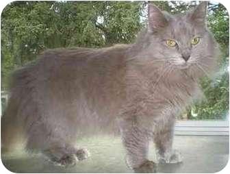Domestic Longhair Cat for adoption in Portland, Oregon - Grace