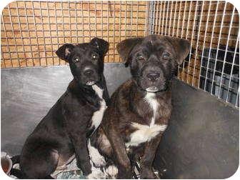 Labrador Retriever Mix Puppy for adoption in Lebanon, Maine - Bridge and Hudson-URGENT in GA