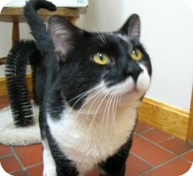 Domestic Shorthair Cat for adoption in Quincy, Massachusetts - Jack
