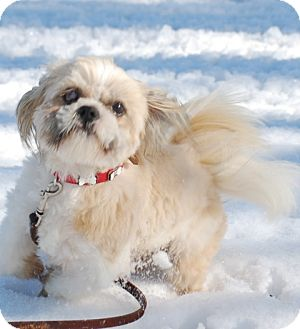 Shih Tzu Dog for adoption in Providence, Rhode Island - Theodore