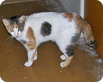 Calico Cat for adoption in Scottsdale, Arizona - Kitty Girl