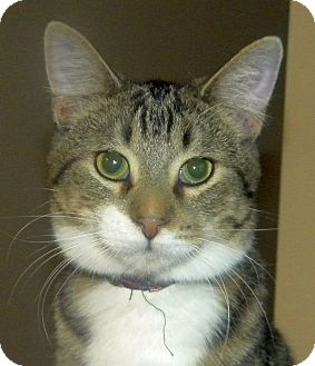 Domestic Shorthair Kitten for adoption in Green Bay, Wisconsin - Emilio