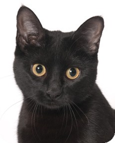 Domestic Shorthair Cat for adoption in Chicago, Illinois - Gena